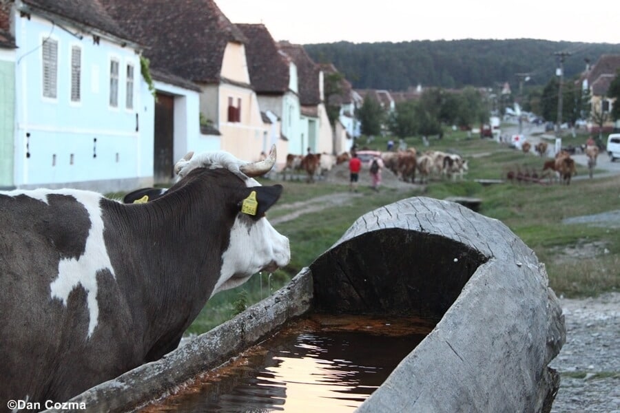 Cows coming back from the pasture in Viscri